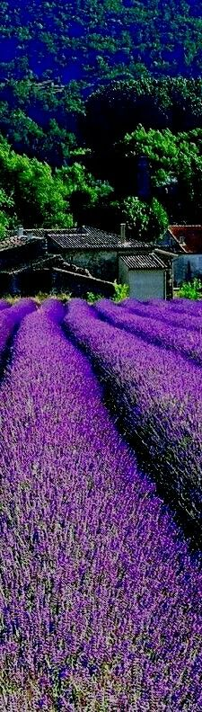 Lavender Fields in Provence | France