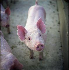 pink pig, that´s why I´m veggie. almost vegan. Vegan Memes, Vegan Quotes, Cute Baby Animals, Farm Animals, Why Vegan, Stop Animal Cruelty, Vegan Animals, Little Pigs, Animal Welfare
