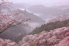 """mu3y18mi: """" ぽめお @pomeoooo 美しすぎる吉野山の桜を見てくれ """""""