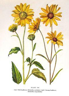 Wild Sunflower 1954 Wildflower Vintage Book Plate For Framing p199