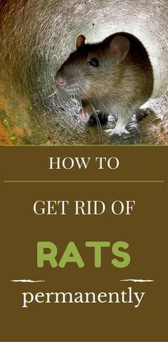 How To Get Rid Of Rats Permanently Getting Rid Of Rats Rats Getting Rid Of Mice