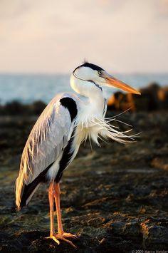 Grey Heron - Photo by Marco Heisler Pretty Birds, Beautiful Birds, Animals Beautiful, Exotic Birds, Colorful Birds, All Birds, Love Birds, Ardea Cinerea, Grey Heron