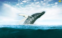 ballena http://www.optuswhalesong.com.au