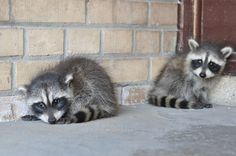 Baby raccoons, so adorable and loving i absolutely loved having raccoons!