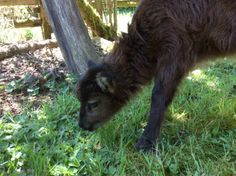 "A ""bummer"" Soay ram lamb came to live at Leaping Lamb Farm this week. He's really, REALLY cute."