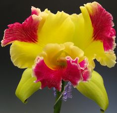 Orchid flowers -  Catleya Hwa Yuan Grace King - Orchid care is important if you want your orchid plant to produce beautiful flowers.  Remember light, water and a little love will ensure beautiful orchid flowers.