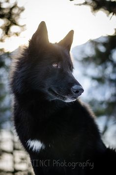 """handsomedogs: """" instinct-photography's Alaskan Noble Companion Dog, Yarrow. Big Dogs, Cute Dogs, Dogs And Puppies, Doggies, West Highland Terrier, Wolf Hybrid Dogs, Tamaskan Dog, Animals And Pets, Cute Animals"""