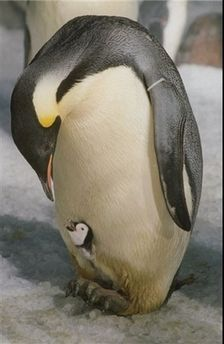 Mother and baby penguin  love this.