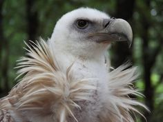egyptian vulture by DaKrunt on DeviantArt