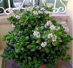 Nome Científico: Crassula ovata. Nomes Populares: Planta-jade, Árvore-da-amizade, Bálsamo-de-jardim, Planta de dinheiro, Rosa alegria e Planta do dólar. Fa