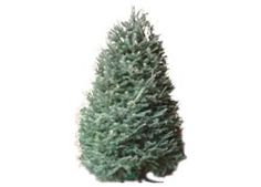 Know the Types of Common Christmas Trees | Balsam fir, Christmas ...