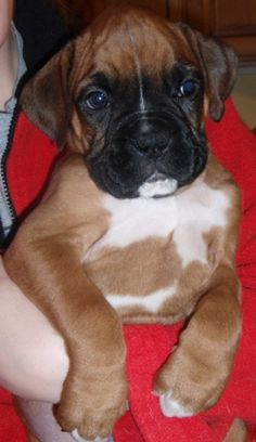 Bruno - Denzel & Sophie's puppy. Male Flashy Fawn Boxer w/white markings