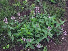 Peltopähkämö - Stachys palustris Natural Beauty, Nature, Plants, Naturaleza, Plant, Nature Illustration, Off Grid, Raw Beauty, Planets