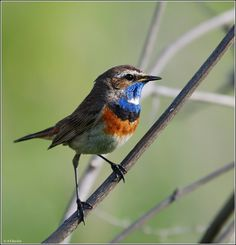 The Bluethroat - Luscinia svecica, is a small insectivorous species breeding in wet birch wood or bushy swamp in Europe and Asia with a foothold in western Alaska.