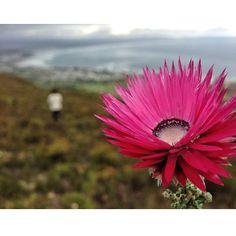 Pink Everlasting Phaenocoma Prolifera aka #Paperflower.