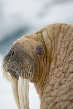 Walrus | © Paul Souders