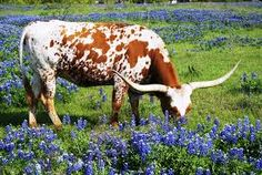 I want a tattoo of a longhorn skull and bluebonnets/Texas wildflowers Longhorn Rind, Longhorn Cow, Longhorn Cattle, Texas Bluebonnets, Texas Longhorns, Only In Texas, Texas Forever, Loving Texas, Texas Pride