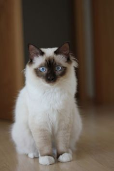 When it comes to a well-balanced personality, it would be hard to beat the Birman.