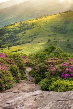 ~~Appalachian Trail Crosses over Jane Bald | on the border of North Carolina and Tennessee. view from Jane Bald, Roan Mountains in the first few weeks in June you are treated with the beautiful blooms of the Catwaba Rhododendrons | by rctfan2~~