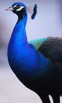 A magnificent blue Peacock