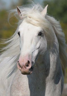 White beauty, shade of grey, horse, heste, beautiful, gorgeous, animal, photograph, photo