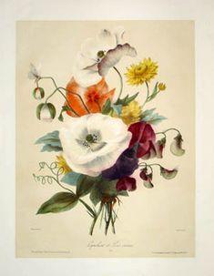 vintage botanical flower prints | George Glazer Gallery - Antique Botanical Prints - Magnolia et Acacia ...