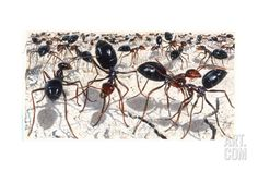 john dawson The Ants artist   john-dawson-honey-ants-from-two-different-colonies-assess-each-other ...