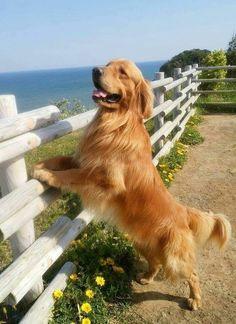 Cute Dogs And Puppies, Pet Dogs, Dog Cat, Pets, Doggies, Golden Retriever Rescue, Retriever Puppy, Golden Retrievers, Love Pet