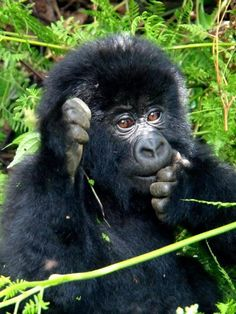 I love gorillas!!!