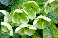 Hellebores add an exotic touch to the winter garden. Their elegant flowers begin to emerge in late January, and depending on the variety, wi. Green Flowers, Colorful Flowers, White Flowers, Buy Plants, Shade Plants, Seattle, Lenten Rose, Plant Guide, Plant Information
