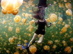 Medusas amarillas, Islas de Palau