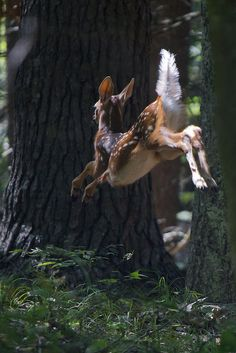 Leaping Fawn ~ a Flash of his Tail & he was Gone