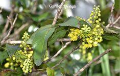 Yellow Mahonia