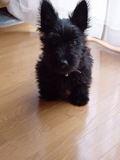 Cute little Scottie