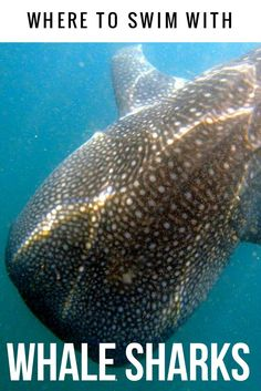 Is swimming with a whale shark on your bucket list. Where to snorkel with whale sharks in Mexico. #snorkel #whalesharks #Baja #mexico