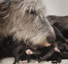 irish wolfhound with puppies Cute Cats And Dogs, Big Dogs, Animals And Pets, Cute Animals, Beautiful Dogs, Animals Beautiful, Irish Wolfhound Dogs, Scottish Deerhound, Newborn Puppies