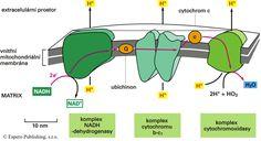 Mitochondrie - stavba a funkce, tvorba ATP, mitochondriální DNA