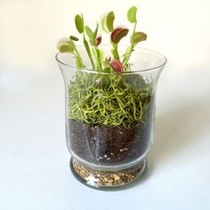 Just in time for Halloween -- Fern's Venus' Fly Trap terrarium is available assembled or as a do-it-yourself kit. Photo: Fern / ONLINE_YES