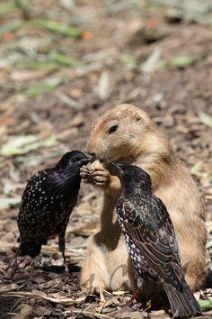 prairie dog and birds #meerkats #prairiedog #animallovers #meekcatlovers #cute