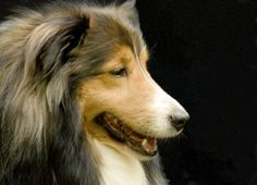 """Shetland sheepdogs, commonly referred to as shelties, are intelligent, cheerful dogs. Often called """"little collies"""" due to their physical similarities, shelties require frequent grooming. Your grooming routine doesn't have to be complex, but it does have to be consistent to keep your sheltie looking her best."""