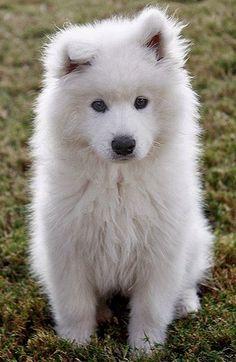 Hudson the Samoyed Puppy!