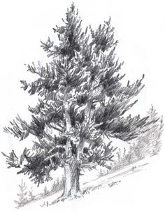 Learn how to draw trees in this simple step-by-step demonstration of the process of drawing and painting a Douglass Fir.
