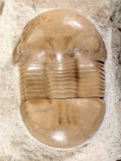Dysplanus from the Middle Ordovician of Russia