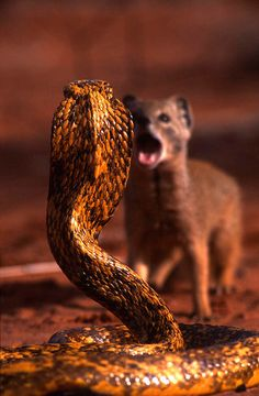 Cobra v. Mongoose.                               A mongoose is cute and still stands up to a cobra! You can be cute, sweet and still a badass!