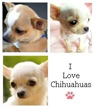 chihuahuas.gif Photo:  This Photo was uploaded by karikreations. Find other chihuahuas.gif pictures and photos or upload your own with Photobucket free i...
