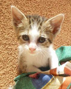 Mascota en adopción en Adoptaloo.com - GATITA DE UN MES EN ADOPCIÓN