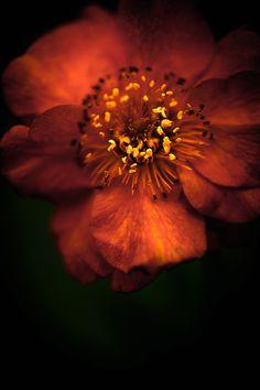 Blood Orange Anemone