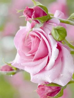 Fantastic Photographs rose garden night Ideas Rose care is simpler as compared with people think—now you may expand these people successfully. Vegetable you. Beautiful Rose Flowers, Love Rose, All Flowers, Exotic Flowers, Amazing Flowers, Pretty Roses, Beautiful Beautiful, Colorful Flowers, Flower Pictures