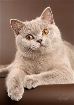 This is a magnificent looking cat. Pale brown and beautiful eyes.