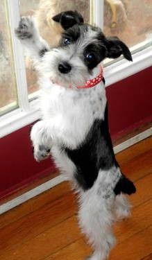 Parti-Colored Schnauzer | AKC Mini Parti Schnauzer Girl- Last One for Sale in Jeff City ...